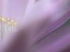 echinopsis-eyriesii