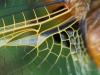 Ala di libellula (particolare)