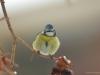 Cinciarella (Cyanistes caeruleus)
