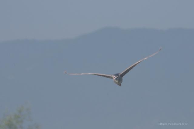 Nitticora in volo, sullo sfondo i monti Sabini.