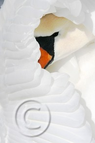 the-swan-s-gracefulness-c-marco-antonini