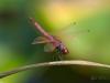 Rainbow (Trithemis annulata)