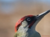 Blue eyes (Picus viridis)