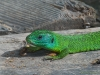 Ramarro|Green lizard